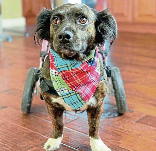 Paws Across Pittsburgh Cherche A Adopter Des Chiens Handicapes Protegez Votre Chien Animaux De Compagnie